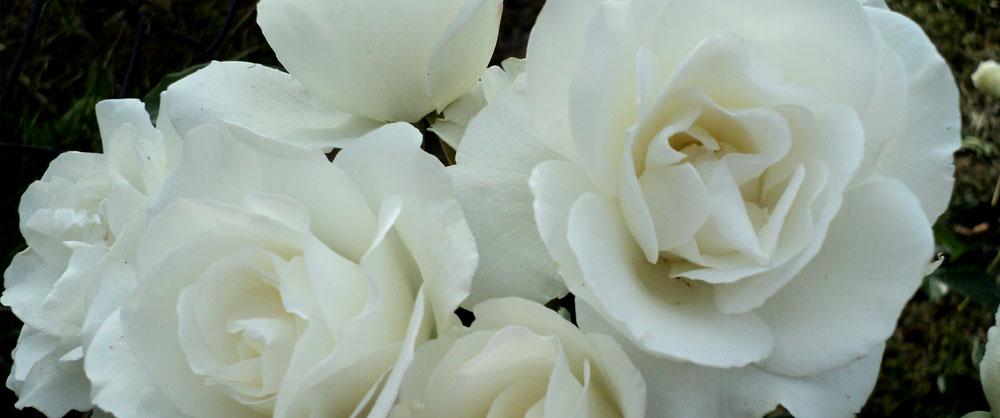 Růže polyantky